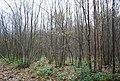 Coppiced trees, Powdermills Wood - geograph.org.uk - 2187763.jpg