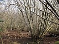 Coppicing in Downs View Wood - geograph.org.uk - 1690407.jpg