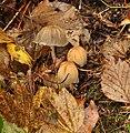 Coprinellus micaceus (Shiny cap).jpg