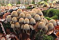Coprinellus micaceus Glimmer-Tintling.jpg
