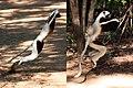 Coquerel's sifaka lemur (Propithecus coquereli) terrestrial locomotion.jpg