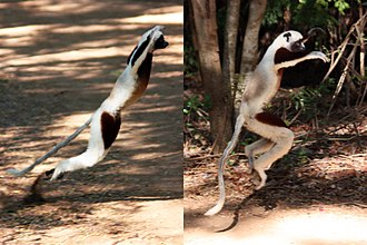 Coquerel's sifaka - The terrestrial locomotion of Coquerel's sifaka