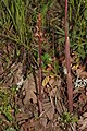 Corallorhiza striata 3765.JPG