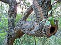 Cork oak in Montes de Málaga - Quercus suber.jpg