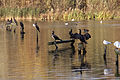 Cormorants (4090146354).jpg