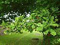 Cornant-FR-89-cimetière-2-quercus.jpg