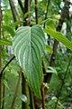 Cornus hemsleyi kz01.jpg