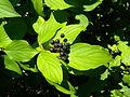 Cornus sanguinea fruits.jpg
