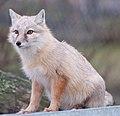 Corsac Fox 3 (6785202305).jpg