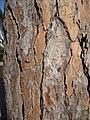 Corteccia di pinus pinea di circa 120 anni, con resina.jpg
