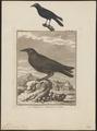 Corvus corone - 1700-1880 - Print - Iconographia Zoologica - Special Collections University of Amsterdam - UBA01 IZ15700221.tif