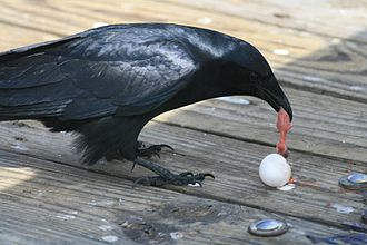 Fish crow - Fish crow eating an egg