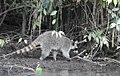 Costa Rica 56.DSCN4659-Mnew (30761835200).jpg