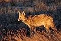 Coyote, Bandelier (2552699164).jpg