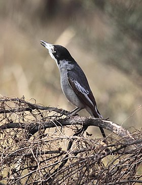 Cracticus torquatus singing - Christopher Watson.jpg