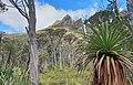 Cradle Mt. from Dove Lake circuit. Richea pandanifolia, pandani, in the foreground. Tasmania Wilderness World Heritage Area.jpg