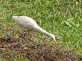 Crane - Indian Botanic Garden - Howrah 2012-01-29 1710.JPG