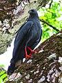 Crane hawk - Panama.jpg