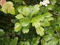 Crataegus laevigata leaf.jpg