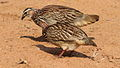 Crested Francolin, Dendroperdix sephaena at Borakalalo National Park, South Africa (9937713385).jpg