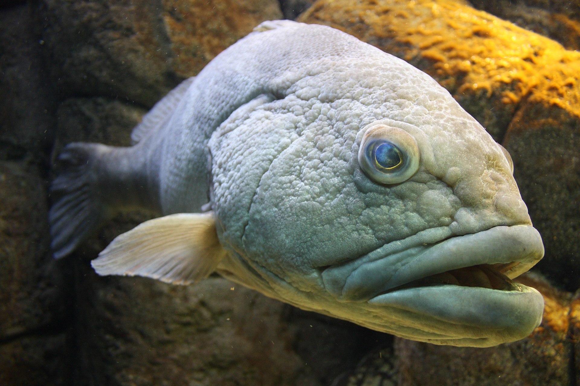 Cretaquarium Grouper.jpg