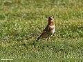 Crimson-winged Finch (Rhodopechys sanguineus) (36165197912).jpg