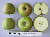 Cross section of Cravert, National Fruit Collection (acc. 1947-236).jpg