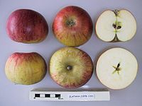 Cross section of Zlatava, National Fruit Collection (acc. 1978-133).jpg