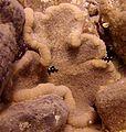 Cryptodendrum adhaesivum, Dascyllus trimaculatus y Thor amboinensis.jpg
