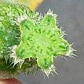 """Cucurbita pepo """"zapallo de Angola"""" semillería La Paulita - flor femenina (VE02) sección transversal del pedúnculo floral al momento de la antesis.jpg"""