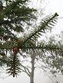 Cunninghamia lanceolata 1.jpg
