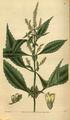 Curtis's Botanical Magazine, Plate 3091 (Volume 58, 1831).png