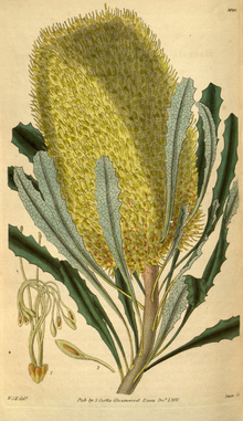 Curtis's Botanical Magazine, Plate 3120 (Volume 58, 1831).png