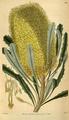 Curtis's Botanical Magazine, Plate 3120 (Volume 58, 1831).png