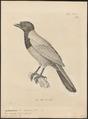 Cyanurus caeruleus - 1700-1880 - Print - Iconographia Zoologica - Special Collections University of Amsterdam - UBA01 IZ15700049.tif