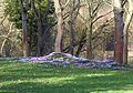 Cyclamen coum - Flickr - gailhampshire.jpg