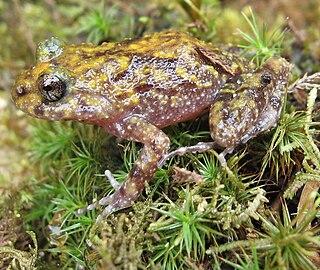 Cycloramphidae Family of amphibians