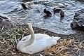 Cygnus olor (Küken) - Arboretum 2011-05-30 20-20-32.JPG