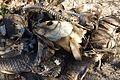 Cyprinus carpio corpses.jpg