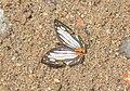 Cyrestis irmae; Sumatran endemic (23874736474).jpg