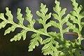 Cystopteris alpina (Alpen-Blasenfarn) IMG 26859.JPG