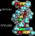 Ausschnitt aus einem Kalottenmodell eines DNA-Moleküls