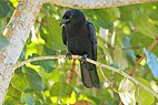 DR White-necked Crow.jpg