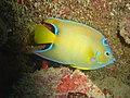 DSC00256 - peixe - Naufrágio e recifes de coral no Nilo.jpg