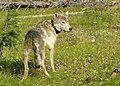 DSCN1029 collared wolf odfw (17086810627).jpg