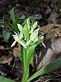 Dactylorhiza sambucina sl34.jpg