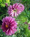 Dahlia flower 4.JPG