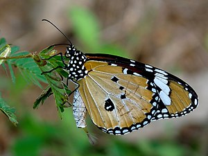 Danaus chrysippus - Male showing the pheromone pouch and brush-like organ in Kerala, India