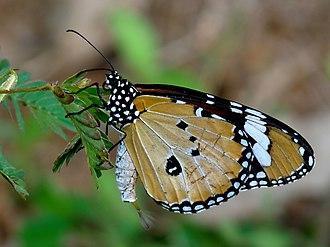 Danaus chrysippus - Male showing the pheromone pouch and brush-like organ in Kerala, India