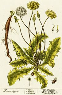 The dandelion's taproot, quite apparent in this drawing, renders this plant very difficult to uproot   the plant itself gives way, but the root stays in the ground and may sprout again.